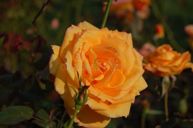 橙色花在傍晚 免版税库存图片