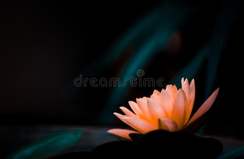 橙色花有黑暗的背景 库存照片
