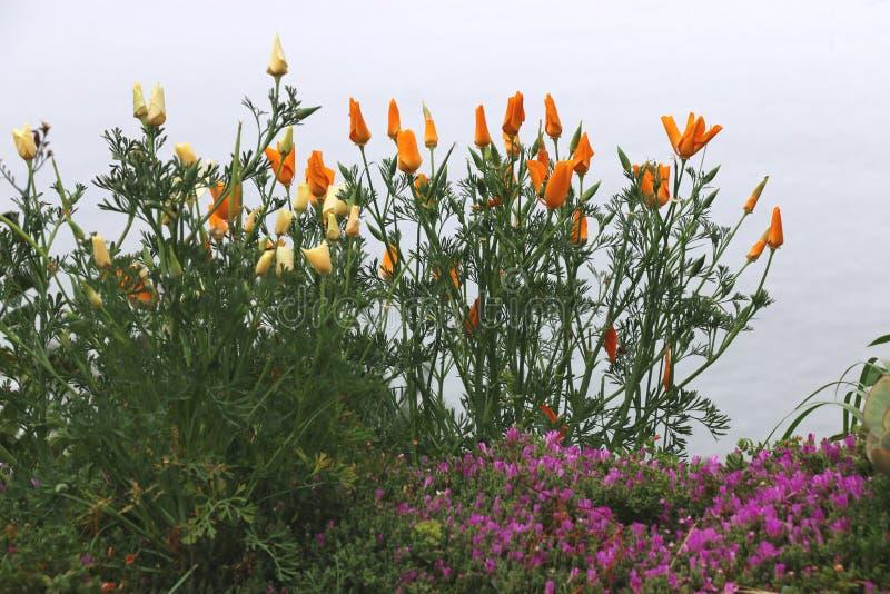 橙色花菱草由海洋,大瑟尔,加州增长 免版税库存图片