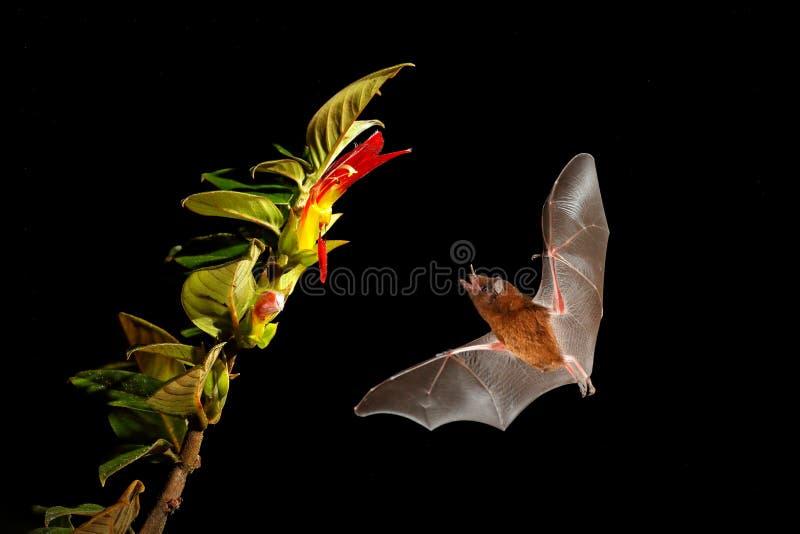 橙色花蜜棒,饱满的Lonchophylla,飞行的棒在黑暗的夜 夜的动物在飞行中与黄色饲料花 野生生物 库存图片