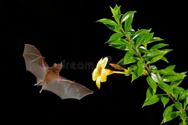 橙色花蜜棒,饱满的Lonchophylla,飞行的棒在黑暗的夜 夜的动物在飞行中与黄色饲料花 野生生物ac 图库摄影