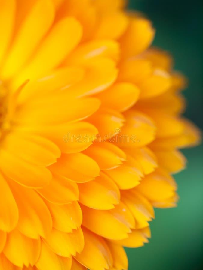 橙色花金盏草背景 抽象背景极其宏观瓣射击向日葵 库存照片