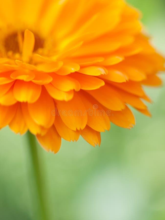 橙色花金盏草背景 抽象背景极其宏观瓣射击向日葵 免版税库存照片