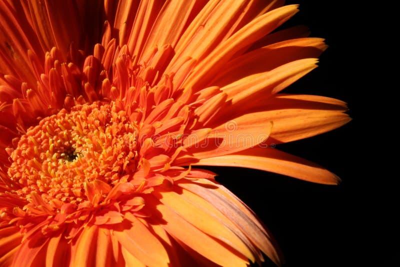橙色花黑色背景 库存图片