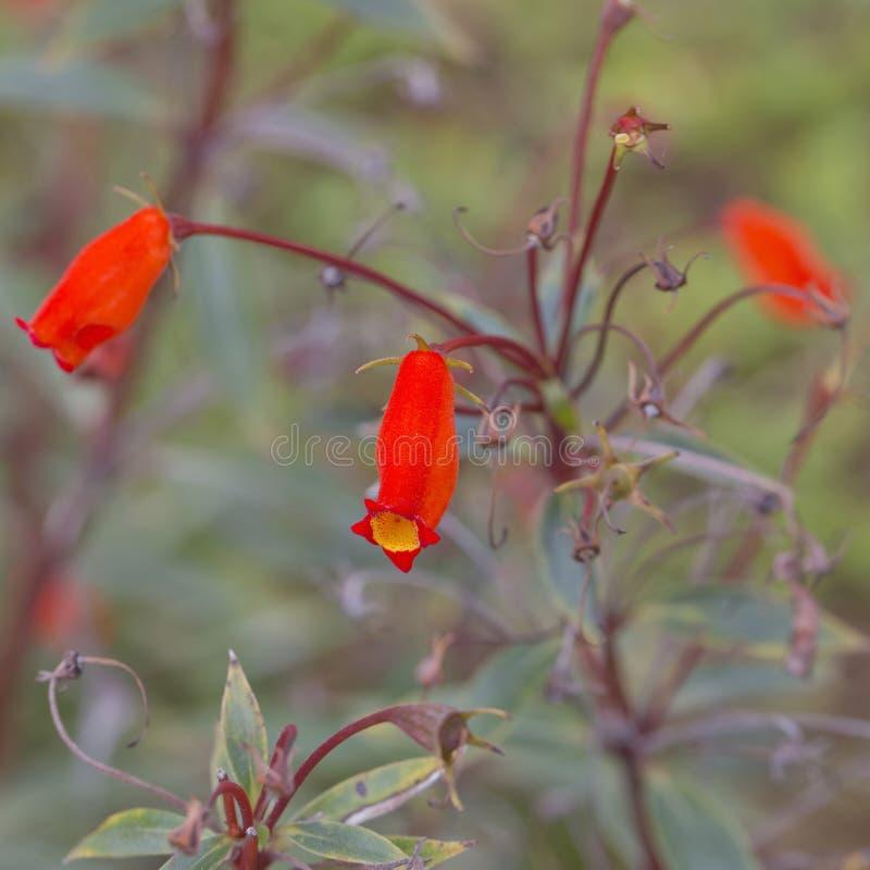 橙色花, gerber花束  免版税库存图片