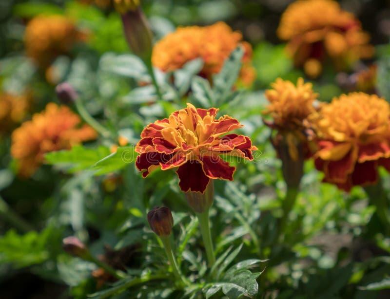 橙色花(万寿菊) 图库摄影