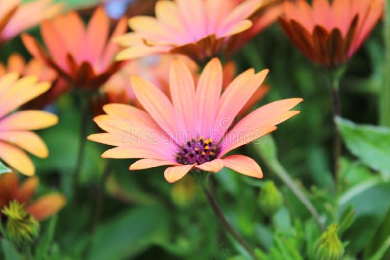 橙色花 免版税图库摄影