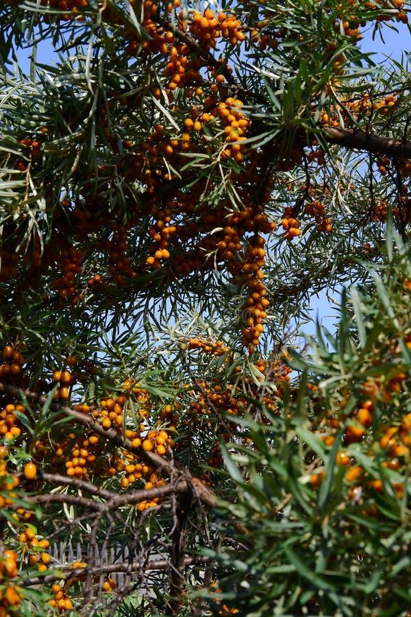 橙色莓果,海鼠李,berrys 免版税库存照片