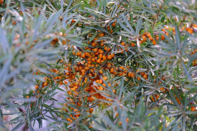 橙色莓果,海鼠李,berrys 库存图片