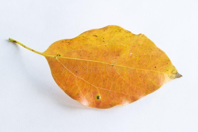 橙色落的叶子 免版税库存照片