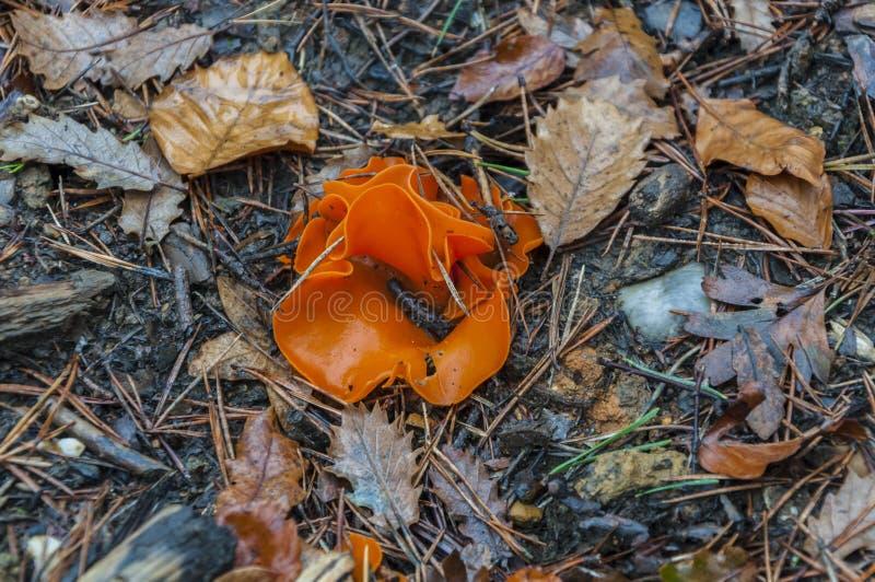 橙色蘑菇在森林里 免版税图库摄影