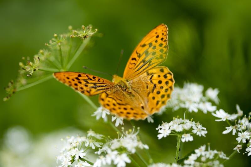 橙色蝴蝶坐在优质印刷品产品的白花宏观背景美术五十megapixels 库存照片