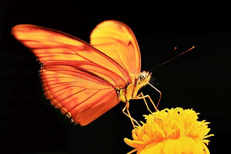 橙色蝴蝶黄色花黑色背景宏观摄影  免版税库存照片