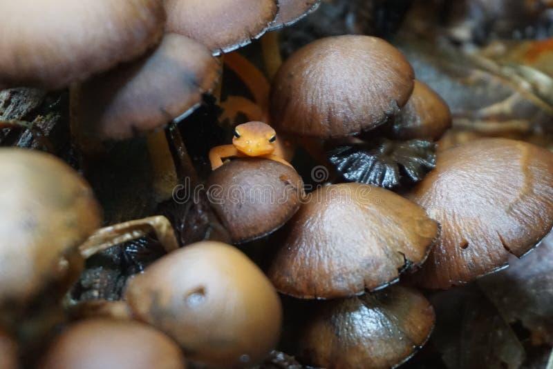 橙色蝾螈用蘑菇 免版税库存照片