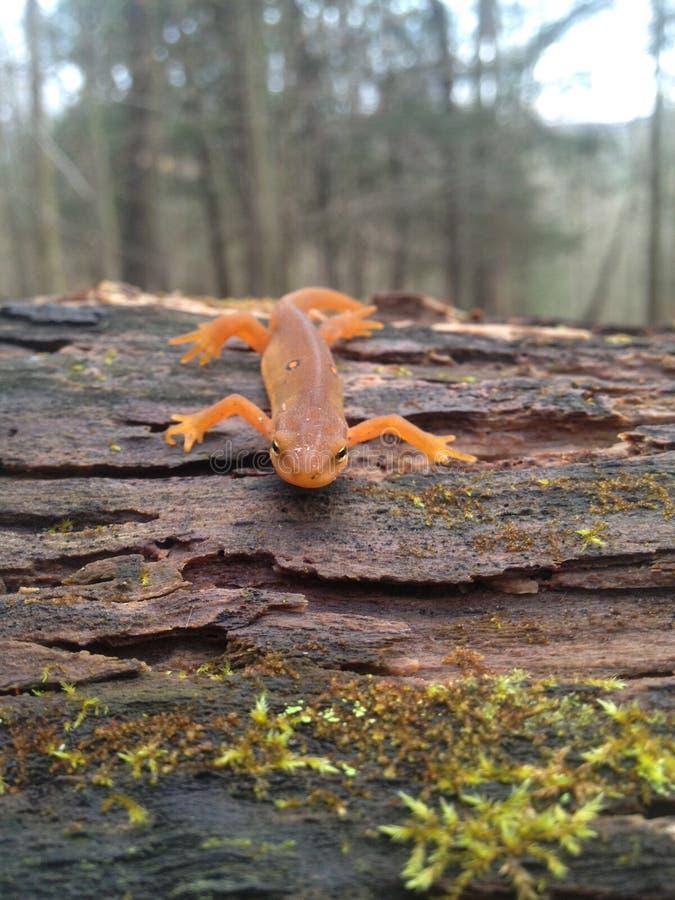 橙色蝾螈 库存图片