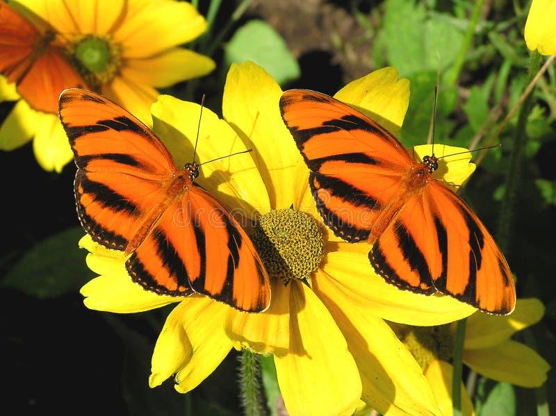 橙色被结合的蝴蝶 免版税库存图片