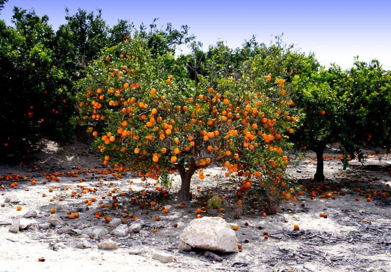 橙色西班牙结构树 免版税库存图片