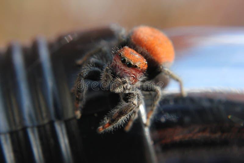 橙色跳跃的蜘蛛 库存图片