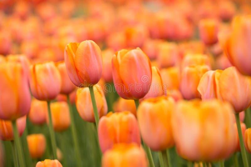 橙色郁金香的领域在春天在密执安 库存照片