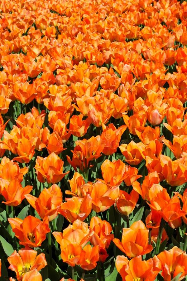 橙色郁金香的领域v 免版税库存图片