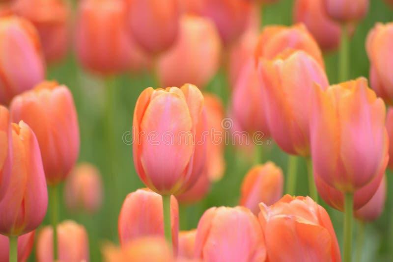橙色郁金香花宏观细节  库存图片