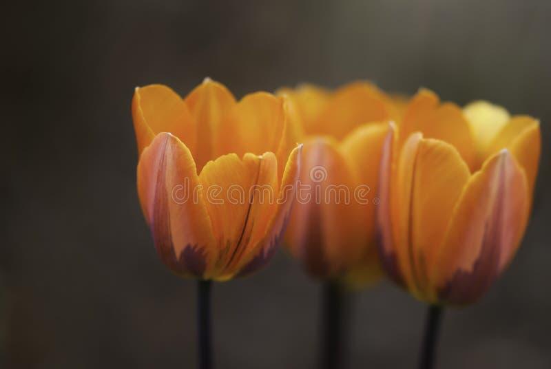 橙色郁金香 免版税图库摄影