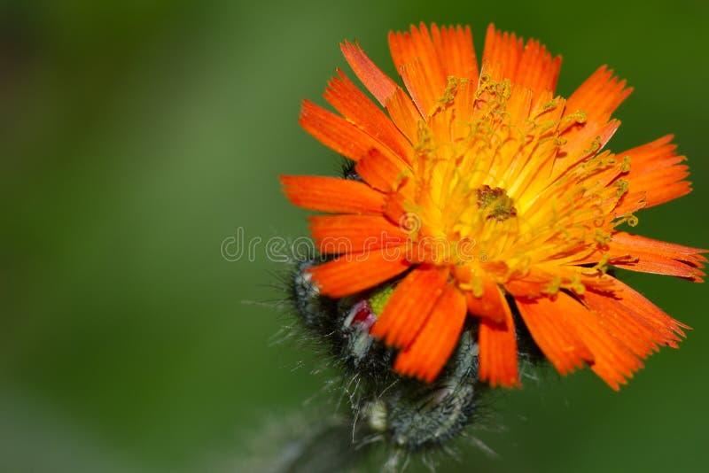 橙色野草 库存照片