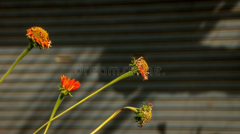 橙色雏菊-新鲜和死干燥-在波纹状的背景 免版税库存图片