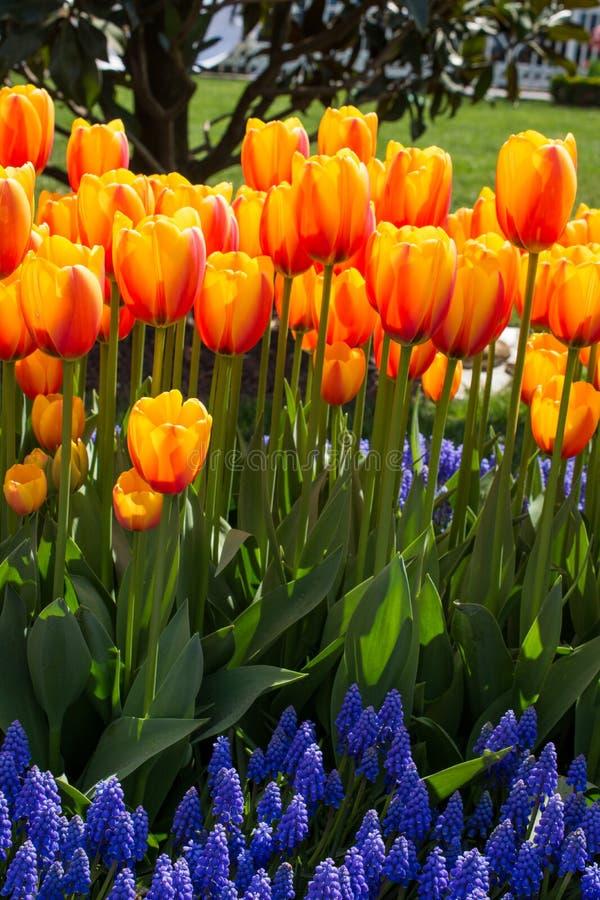 橙色颜色郁金香花在庭院里 免版税库存图片