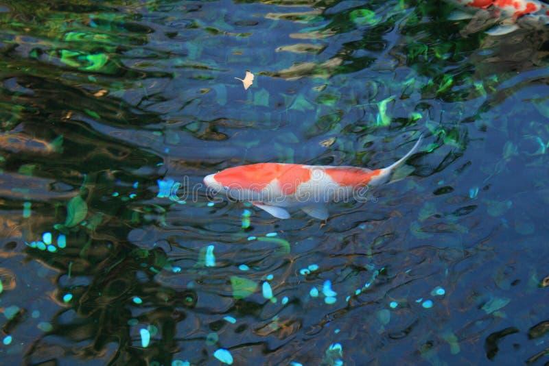 橙色鱼在东京日本 免版税库存照片