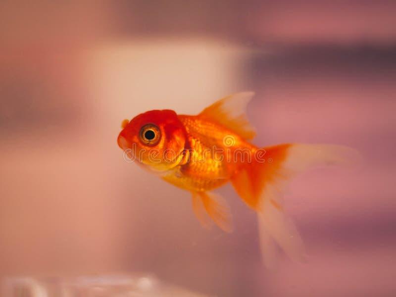 橙色鱼 免版税库存照片