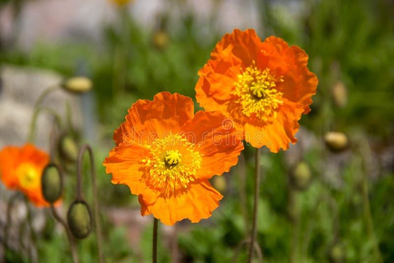 橙色鸦片在庭院里 库存图片
