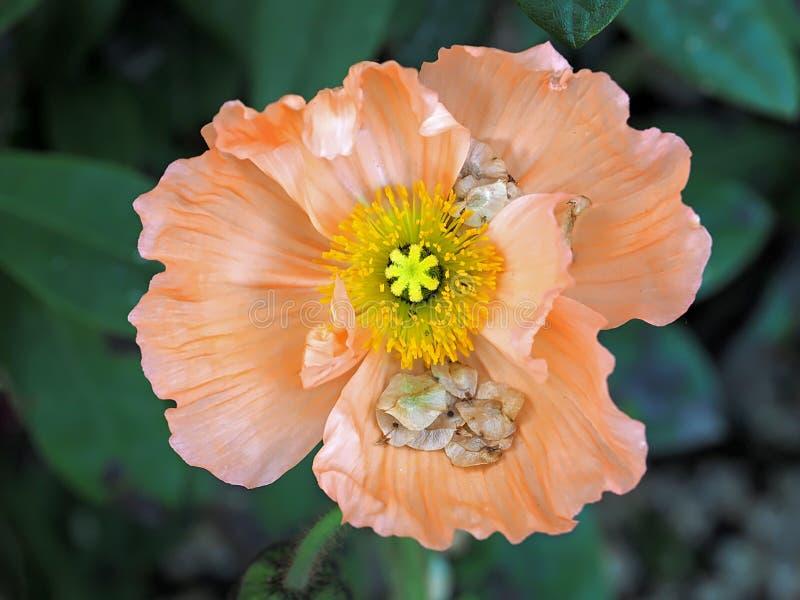 橙色鸦片花的美好的宏指令 库存图片