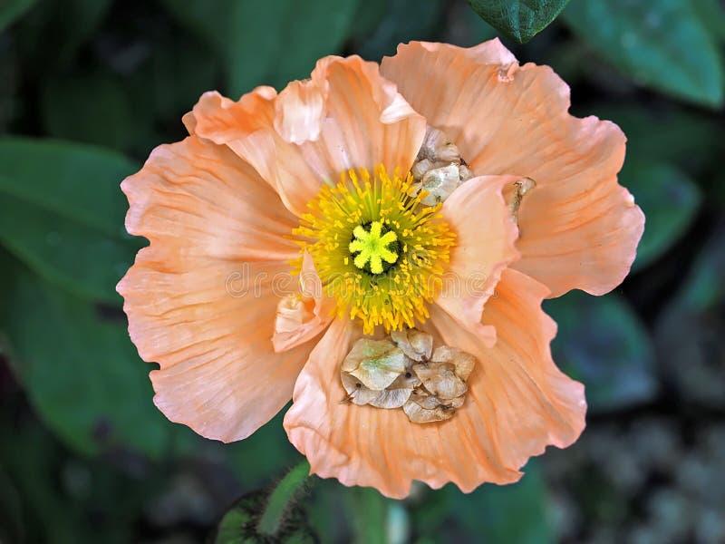橙色鸦片花的美好的宏指令 库存照片
