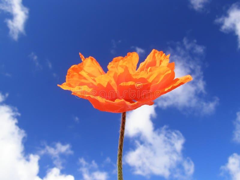 橙色鸦片 图库摄影