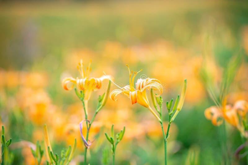 橙色黄花菜flowerTawny黄花菜绽放 免版税图库摄影
