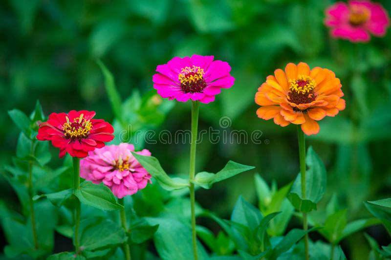 橙色,桃红色和红色百日菊属花卉生长在庭院里 库存图片