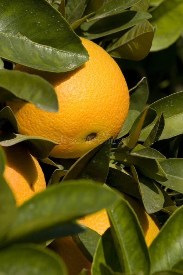橙色 免版税库存照片