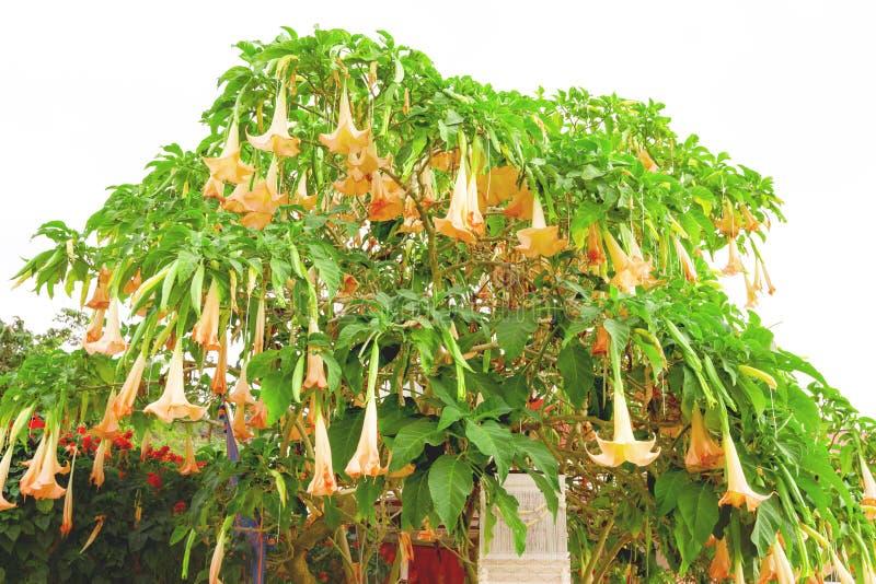 橙色Brugmansia x假丝酵母Pers或Angel's与白色天空的喇叭花 图库摄影