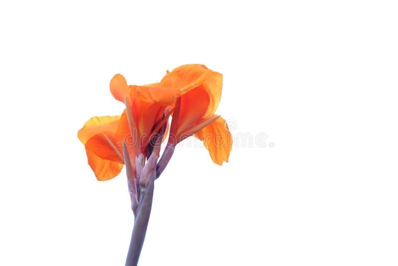 橙色canna百合花开花在白色被隔绝的背景的植物园里 库存照片