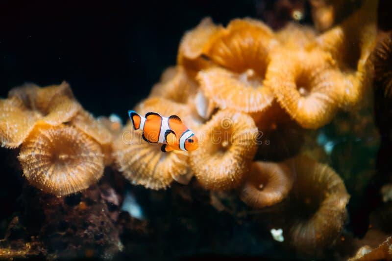 橙色Clownfish或双锯鱼Percula或Percula Clownfish和小丑Anemonefish是一条普遍的水族馆鱼 免版税图库摄影