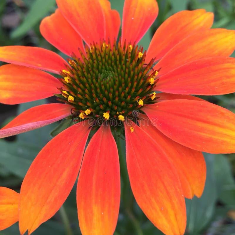 橙色Coneflower海胆亚目 库存照片