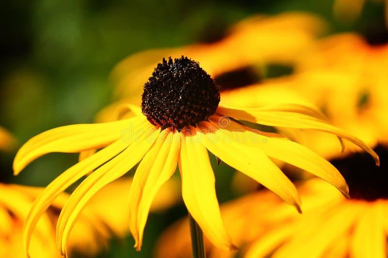 橙色Coneflower,黄金菊fulgida 库存图片