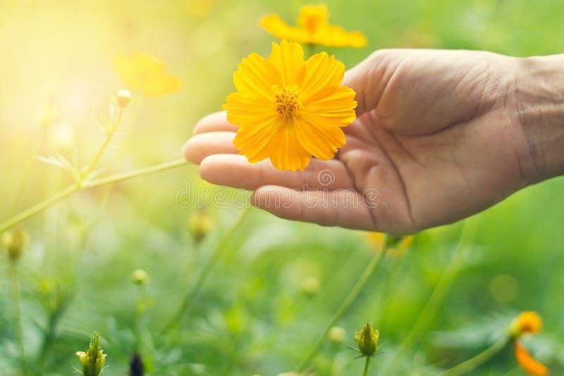 橙色gerber在绿色自然背景在手中开花 免版税库存图片