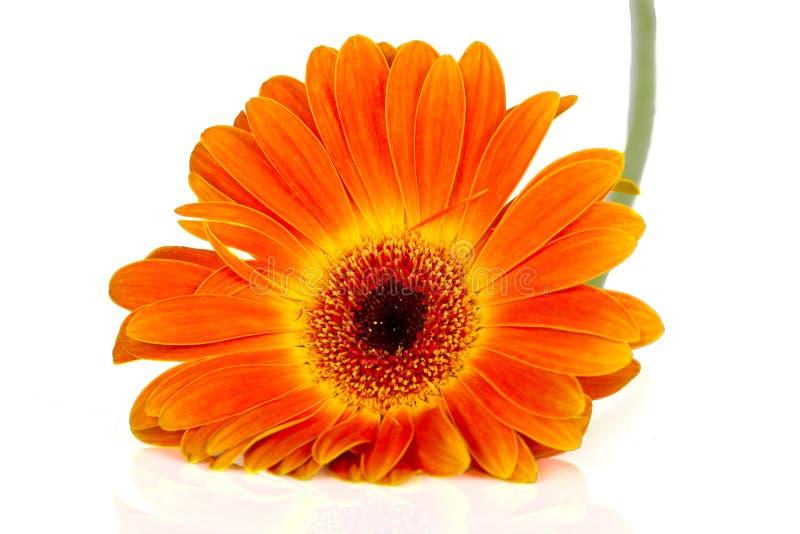 橙色gerbia侧视图  库存照片