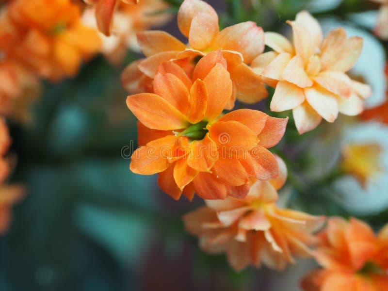 橙色kalanchoe blossfeldiana_close-up 免版税库存图片