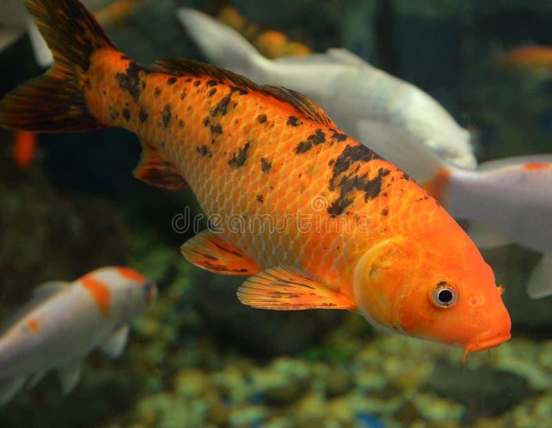 橙色Koi鲤鱼 免版税图库摄影