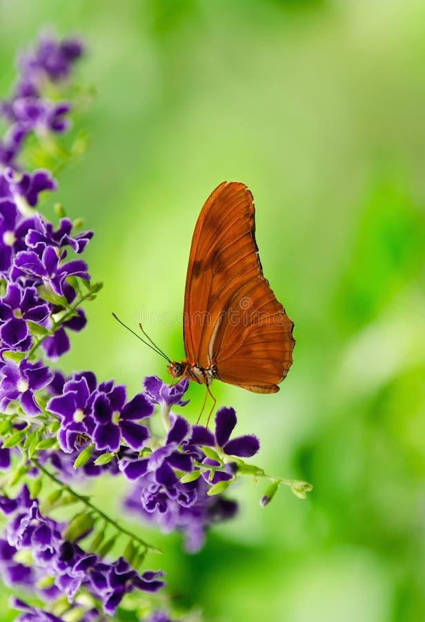 橙色Longwing (新仙女木iulia)蝴蝶 免版税库存照片