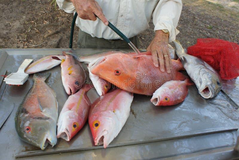 橙色Roughy鱼 库存照片
