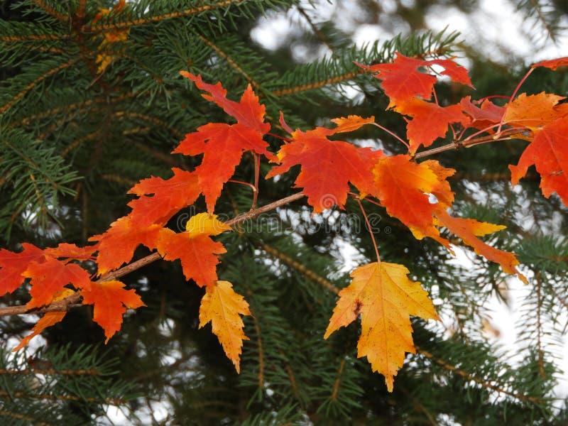 橙黄枫叶和绿色杉木 免版税图库摄影